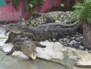 croc11
